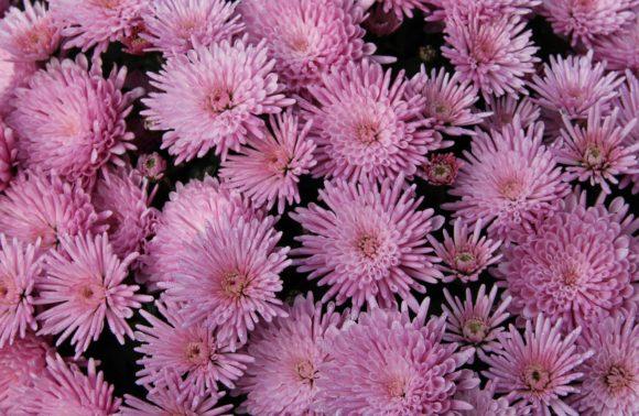 Fête des Chrysanthèmes