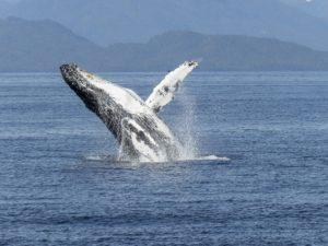 Baleine en Norvège