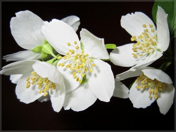 Bien plus qu'une fleur, la reine de la parfumerie !